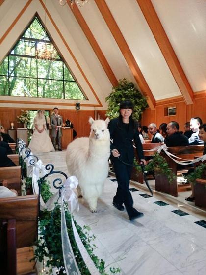 Lạc đà làm chứng hôn đám cưới ở nhật