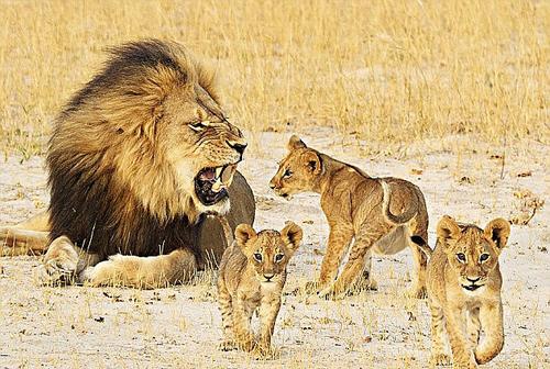 Hướng dẫn viên bị sư tử cắn chết vì bảo vệ khách