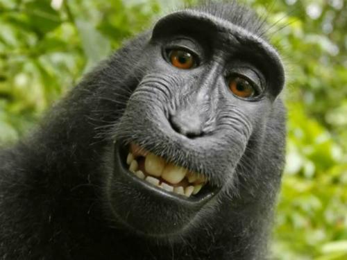 Chú khỉ tự chụp ảnh được đòi hộ bản quyền