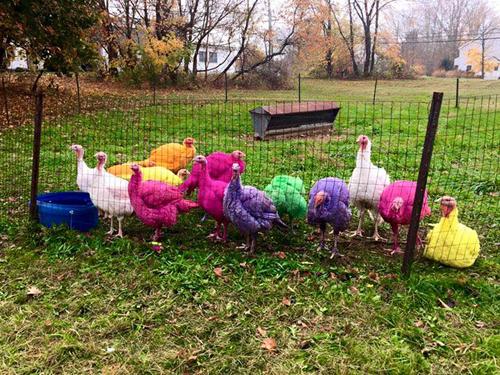 Trang trại gà tây 7 màu đón các dịp nghỉ lễ ở mỹ