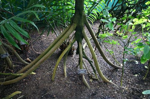 Bí ẩn những cây cọ biết đi trong rừng ecuador