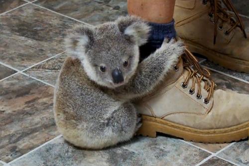 Gấu koala leo lên chân du khách vì tưởng là thân cây