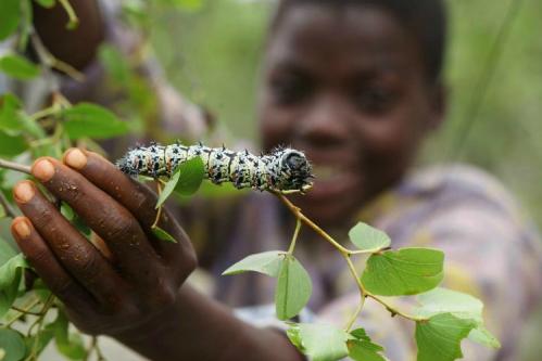 Sâu bướm - món ăn mùa giáng sinh ở châu phi