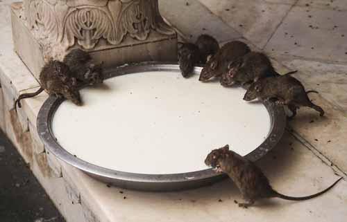 Thiên đường nơi loài chuột thống trị ở ấn độ