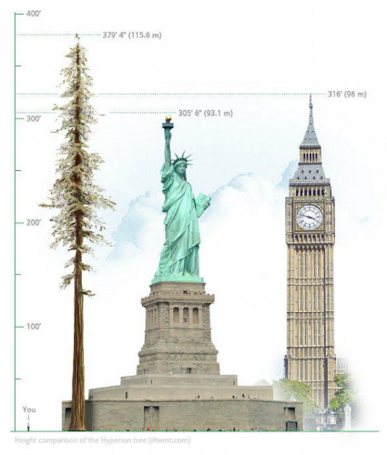 Hyperion - cây cổ thụ cao nhất thế giới