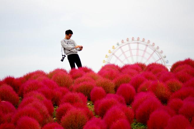biển hoa ở công viên hitachi seaside nhật bản