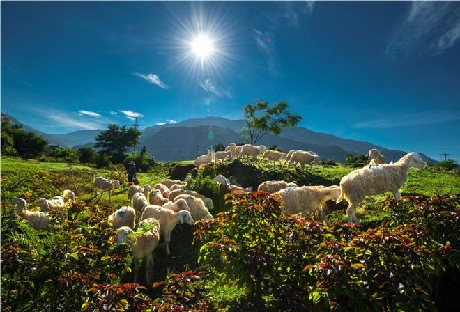 Cuộc sống của những chú cừu ở ninh thuận