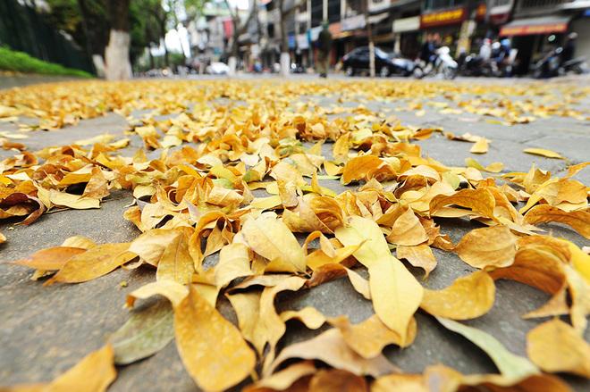 Lộc vừng khoe sắc vàng rực rỡ trên đường phố hà nội