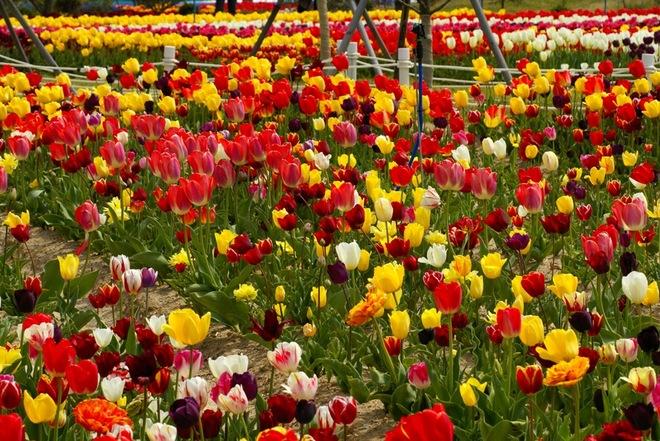 Những mùa hoa rực rỡ trên khắp hàn quốc