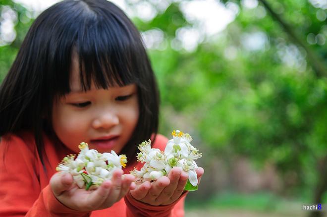 Vẻ đẹp tinh khiết của hoa bưởi hoa chanh